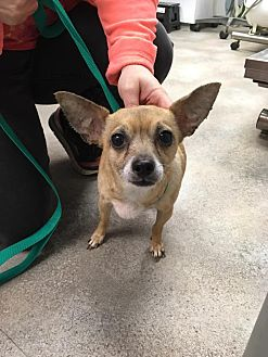 Chihuahua Dog for adoption in Cincinnati, Ohio - Honey: in Reading