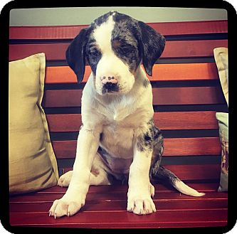 Catahoula Leopard Dog Mix Puppy for adoption in Grand Bay, Alabama - Josie