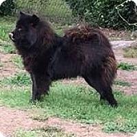 Adopt A Pet :: Winston - Mansfield, TX