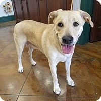Labrador Retriever Mix Dog for adoption in Rathdrum, Idaho - Fern