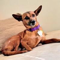 Adopt A Pet :: Gizmo - Spring City, PA