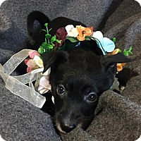 Pointer Mix Puppy for adoption in Mission, Kansas - Cavalier Homes