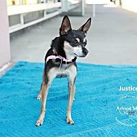 Adopt A Pet :: Justice - Shawnee Mission, KS