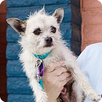 Chihuahua/Toy Poodle Mix Dog for adoption in Pittsburg, California - *Mimikyu Pokemon