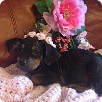 Adopt A Pet :: Phoenix - Billerica, MA