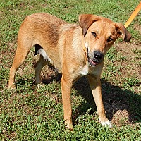 Golden Retriever/Shepherd (Unknown Type) Mix Dog for adoption in Williamsport, Maryland - Precious(55 lb) AWESOME Girl