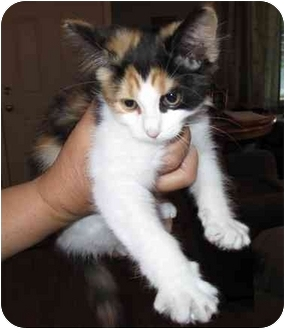Calico Kitten for adoption in Nanaimo, British Columbia - ANGIE