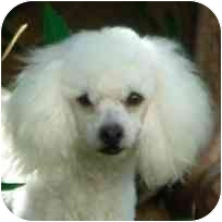 Poodle (Miniature) Mix Dog for adoption in La Costa, California - Nala