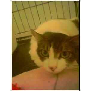 Turkish Van Cat for adoption in Owasso, Oklahoma - Little Girl (Turkish Van)