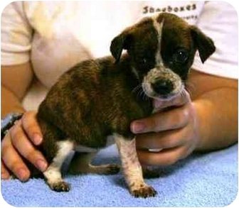 Rat Terrier Mix Puppy for adoption in Seneca, South Carolina - LIL MISS