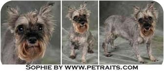 Miniature Schnauzer Mix Dog for adoption in Chicago, Illinois - Sophie