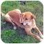 Photo 2 - Golden Retriever/Labrador Retriever Mix Puppy for adoption in Stafford, Virginia - Twix