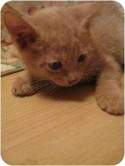 Domestic Shorthair Kitten for adoption in Vienna, Virginia - Booloo