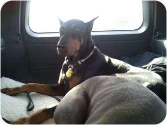 Doberman Pinscher Dog for adoption in Fairfield, Texas - MAX  (Referral Dog)