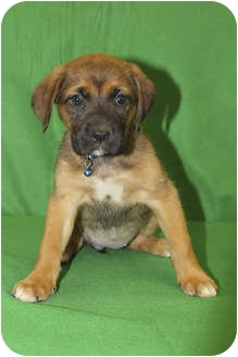 Boxer/Shepherd (Unknown Type) Mix Puppy for adoption in Broomfield, Colorado - Bonnet