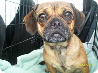 Pug/Beagle Mix Puppy for adoption in Anaheim, California - LaLa