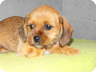 Shih Tzu/Dachshund Mix Puppy for adoption in Syacuse, New York - LuLu