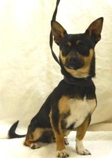 Chihuahua Mix Dog for adoption in Columbus, Nebraska - Co-Co