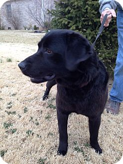 Labrador Retriever Mix Dog for adoption in Lewisville, Indiana - Robert
