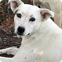 Adopt A Pet :: ABBEY - Glastonbury, CT