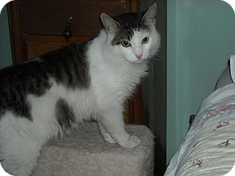 Maine Coon Cat for adoption in Arlington, Virginia - Charlie (Loveable Lapsitter)!)