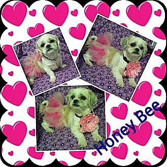 Shih Tzu Mix Dog for adoption in Urbana, Ohio - Honey Bee
