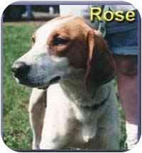 Foxhound Mix Dog for adoption in Aldie, Virginia - Rose