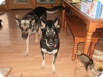 German Shepherd Dog Dog for adoption in Quincy, Indiana - Raven