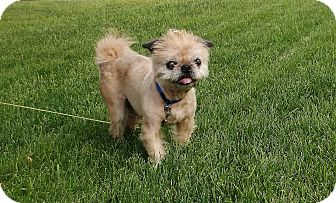 Pug/Brussels Griffon Mix Dog for adoption in Overland, Kansas - ERNIE: Adopted