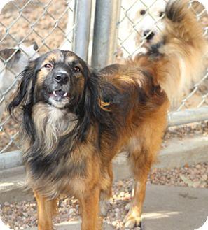 Dachshund/Sheltie, Shetland Sheepdog Mix Dog for adoption in Woonsocket, Rhode Island - Buster Brown - Meet Me!