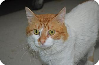 Domestic Mediumhair Cat for adoption in Monroe, Michigan - Cheese