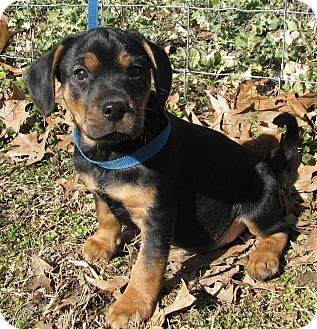 Beagle/Fox Terrier (Wirehaired) Mix Puppy for adoption in Bedminster, New Jersey - Marcie