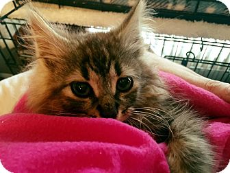 Domestic Longhair Kitten for adoption in Burlington, North Carolina - ELSA