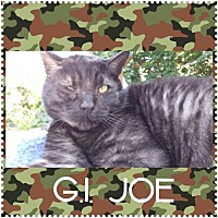 Domestic Shorthair Cat for adoption in Walnut Creek, California - GI Joe