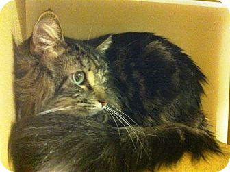 Maine Coon Cat for adoption in Lake Elsinore, California - Merlin