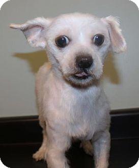Maltese Dog for adoption in Newark, Delaware - Sammy