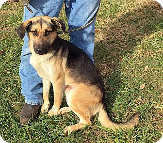 German Shepherd Dog/Husky Mix Dog for adoption in Loogootee, Indiana - Prince
