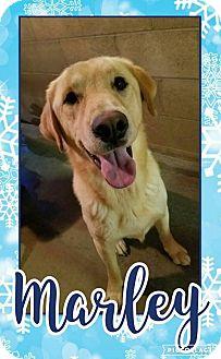 Labrador Retriever/Golden Retriever Mix Dog for adoption in Edwards AFB, California - Marley