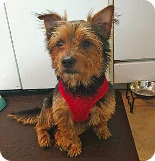 Australian Terrier Dog for adoption in West Linn, Oregon - Brownie