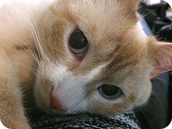 Siamese Cat for adoption in Toronto, Ontario - Biscuit