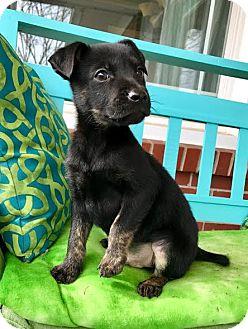 German Shepherd Dog/Mountain Cur Mix Puppy for adoption in Allentown, Pennsylvania - Pixar
