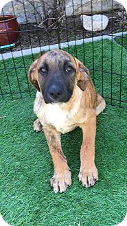 Dutch Shepherd/German Shepherd Dog Mix Puppy for adoption in Carson, California - RANGER