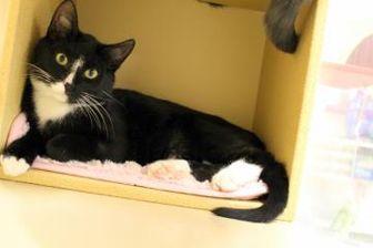 Domestic Shorthair/Domestic Shorthair Mix Cat for adoption in Saskatoon, Saskatchewan - Hamish