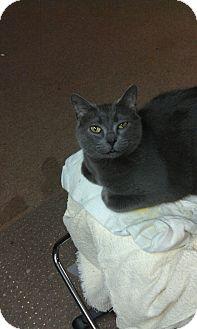 Russian Blue Cat for adoption in Harrison Township, Michigan - Smokey