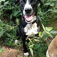 Adopt A Pet :: Nox - Pottsville, PA