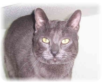 Russian Blue Cat for adoption in Brighton, Michigan - Lucky