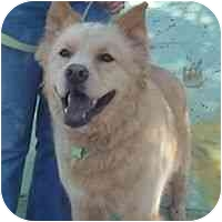 Chow Chow Mix Dog for adoption in Denver, Colorado - Teddy Bear