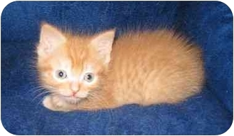 Domestic Shorthair Kitten for adoption in Richmond, Virginia - Stuart