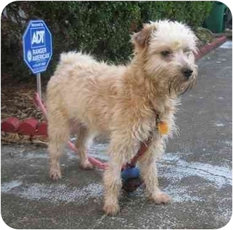 Terrier (Unknown Type, Small) Mix Dog for adoption in Houston, Texas - Ruffles