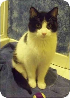 Domestic Shorthair Kitten for adoption in Toronto, Ontario - Bytes